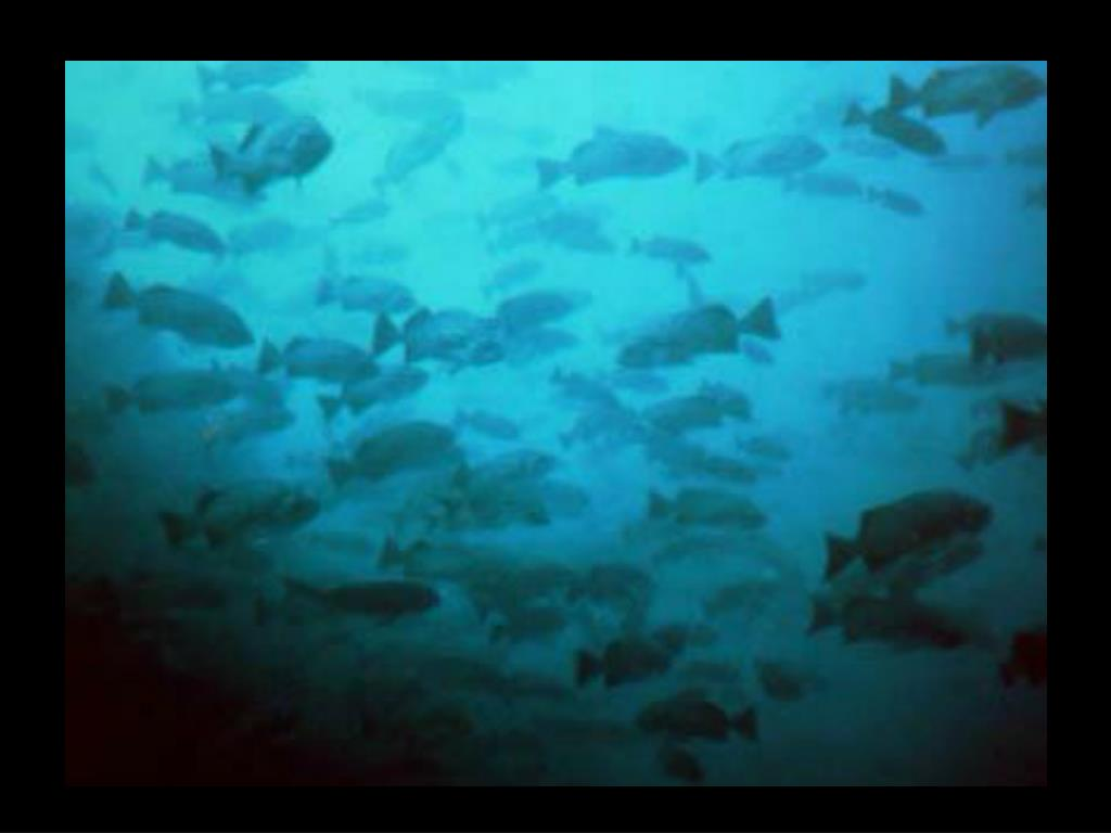 43. rockfish