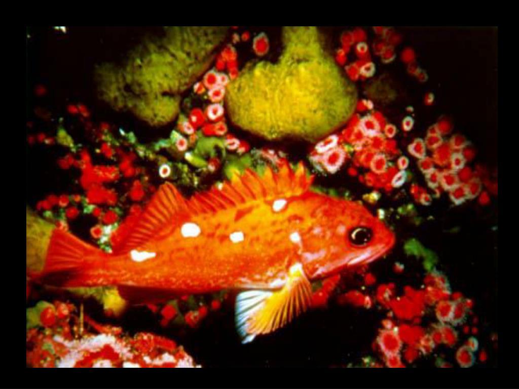 46. Rosy rockfish