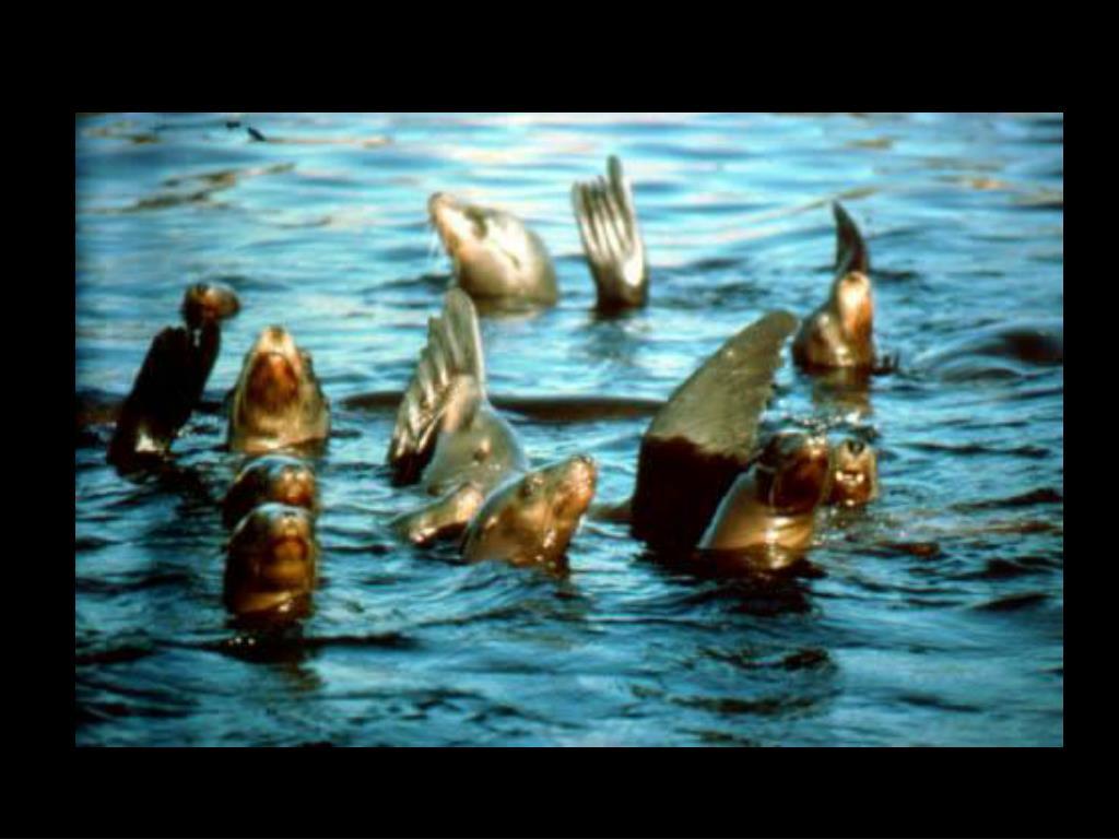 48. California sea lions