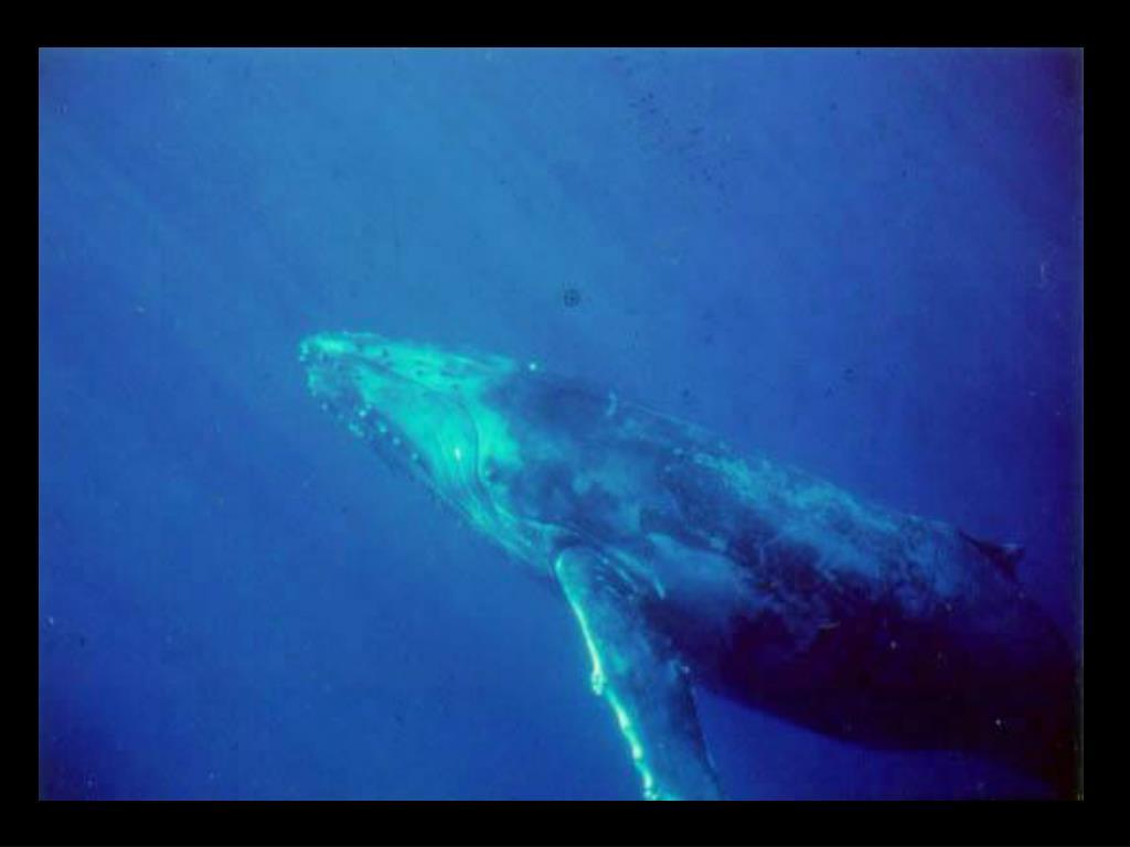 51. Humpback whale