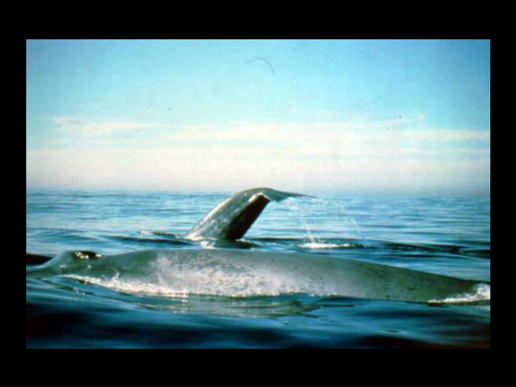 52. Blue whales
