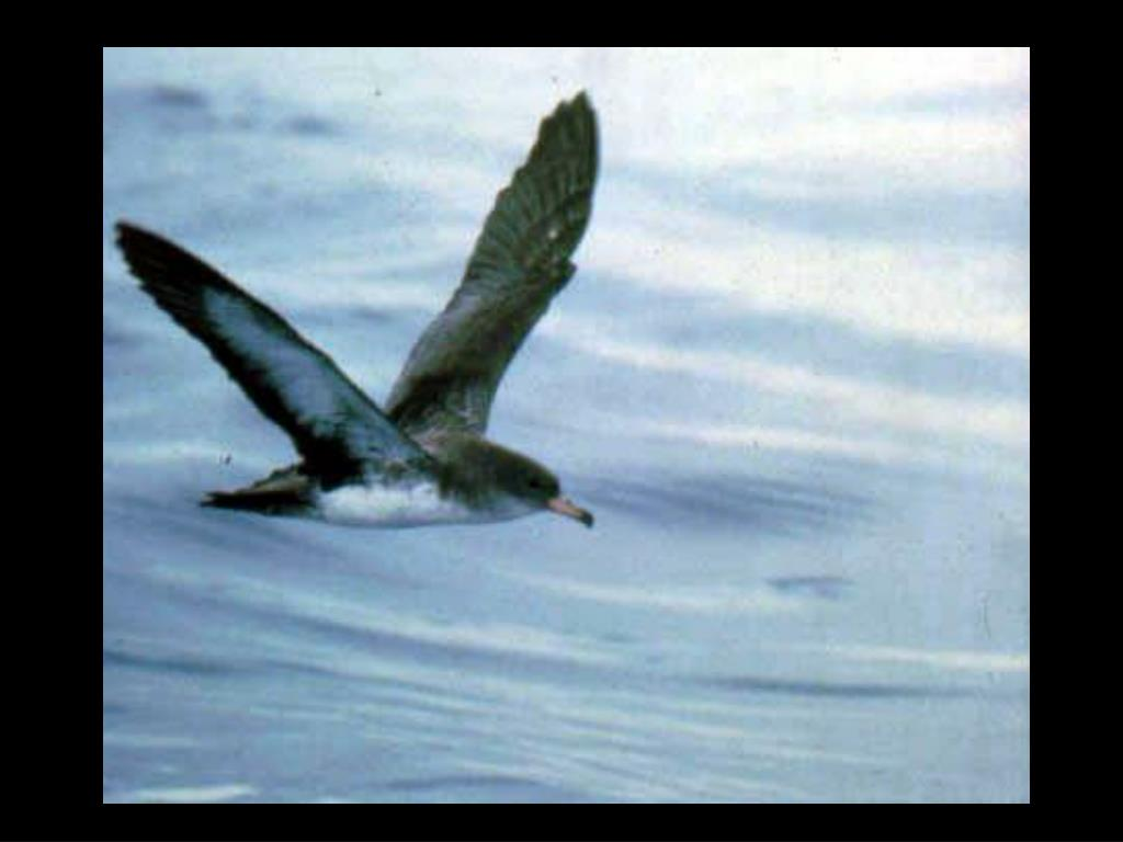 53. Pink-footed shearwater