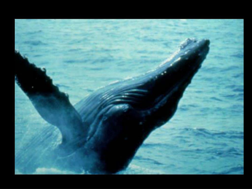 62. Breaking humpback