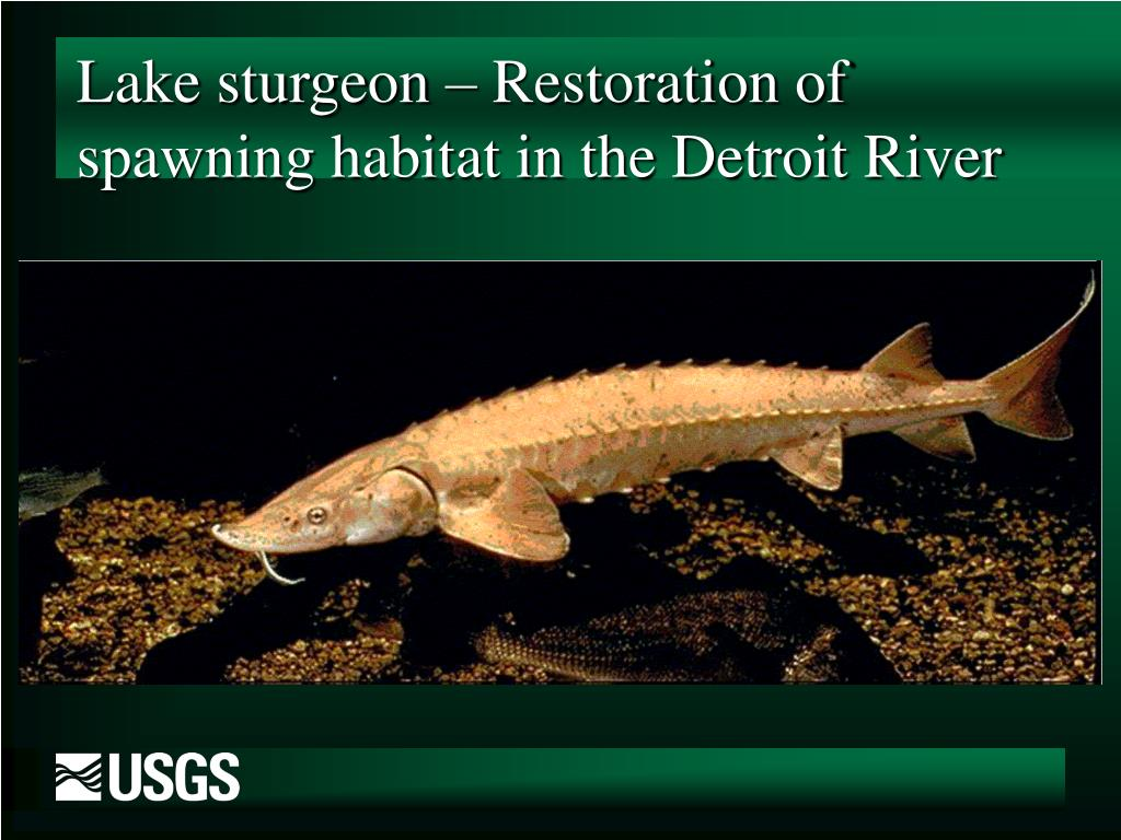 Lake sturgeon – Restoration of spawning habitat in the Detroit River