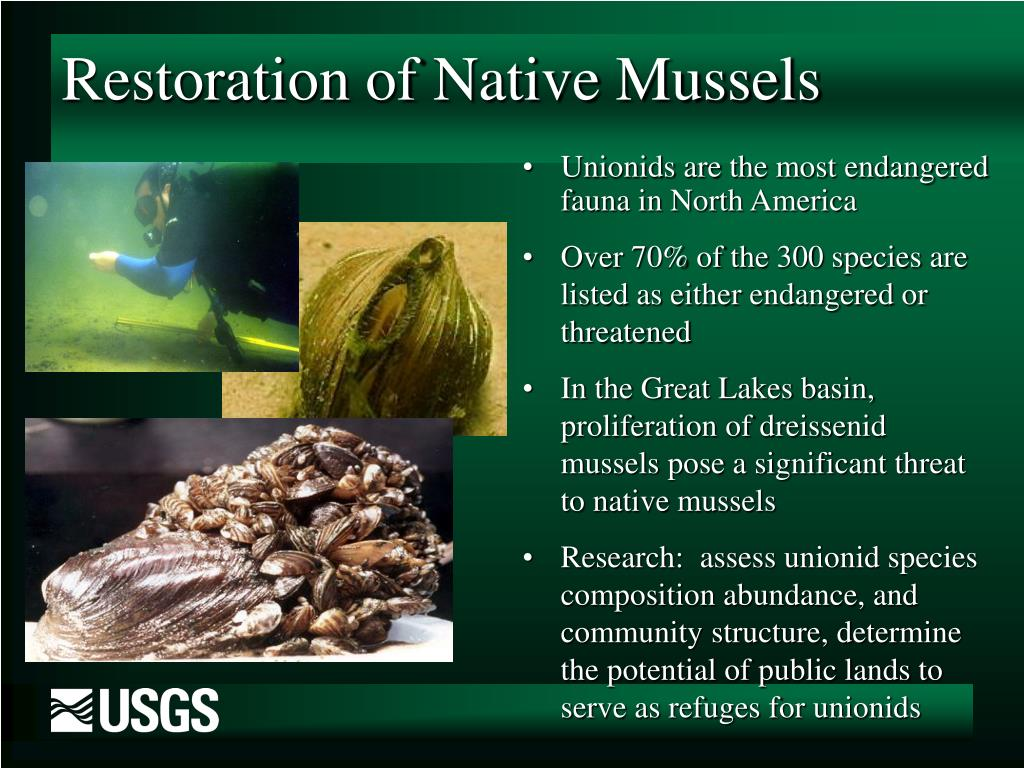 Restoration of Native Mussels