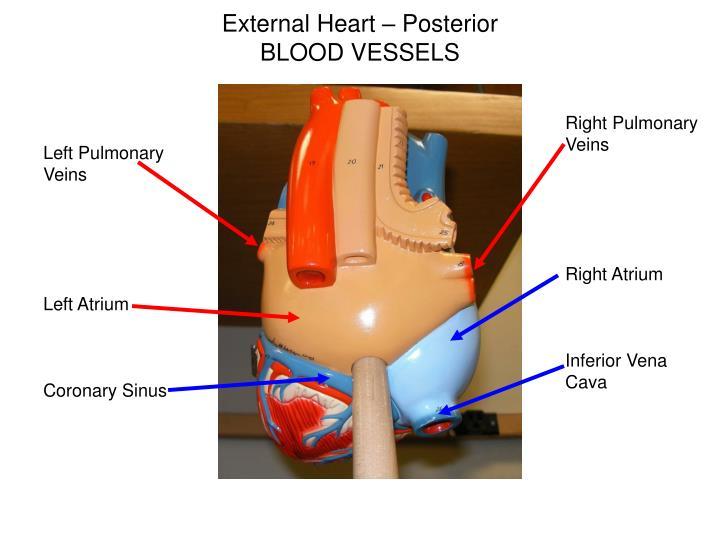 External Heart – Posterior