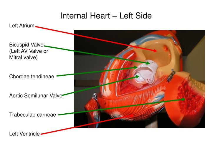 Internal Heart – Left Side