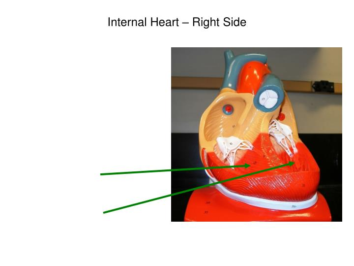 Internal Heart – Right Side
