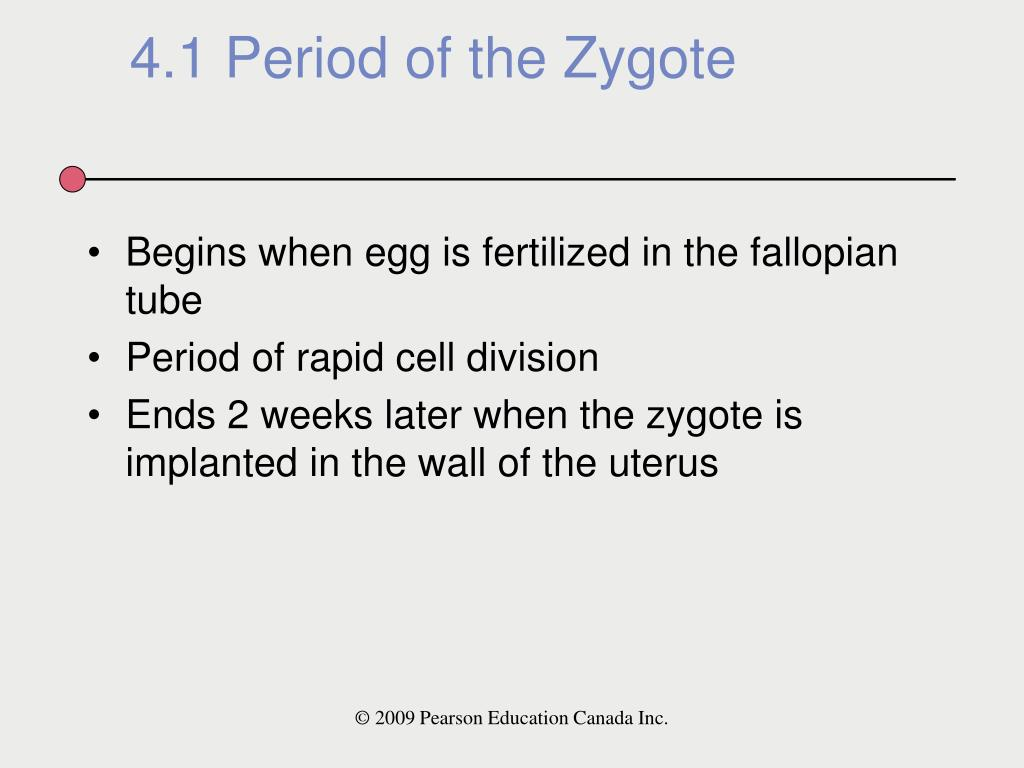 Begins when egg is fertilized in the fallopian tube