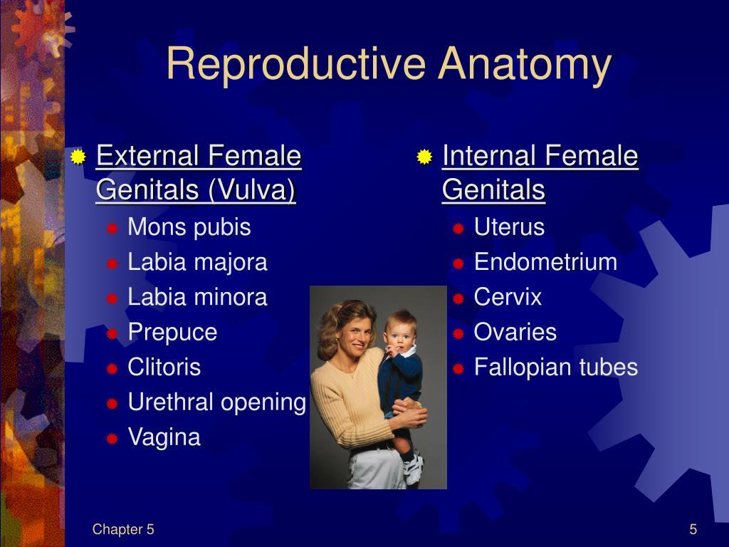 External Female Genitals (Vulva)