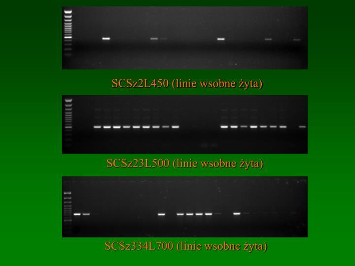 SCSz2L450 (linie wsobne żyta)