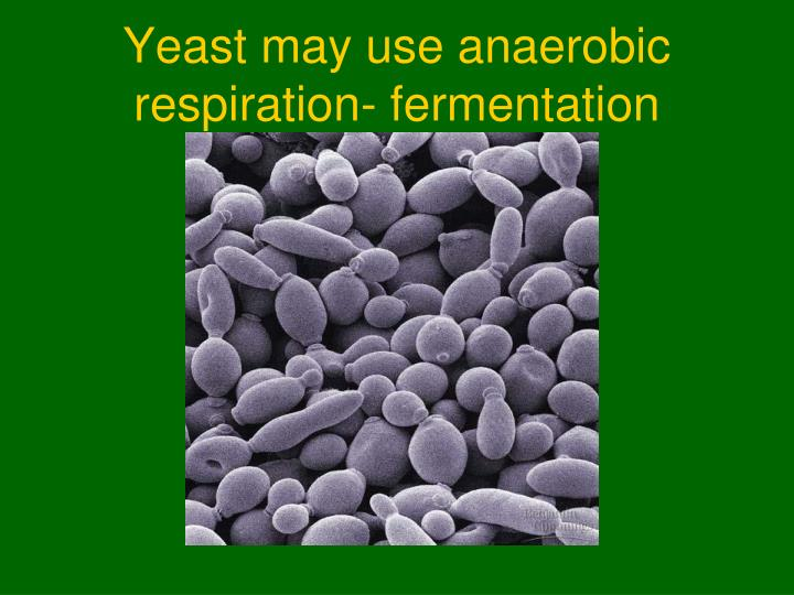 Yeast may use anaerobic respiration- fermentation