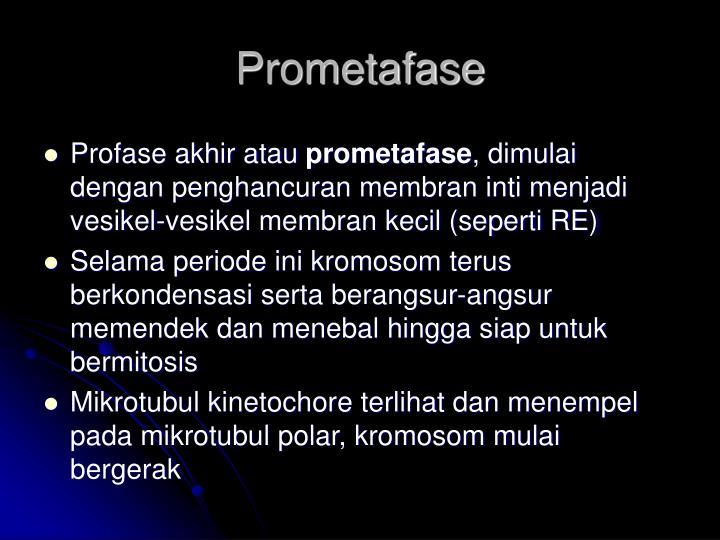 Prometafase