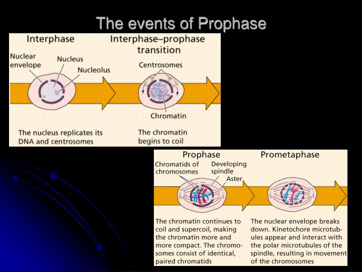 The events of Prophase