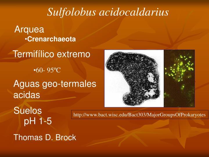 Sulfolobus acidocaldarius