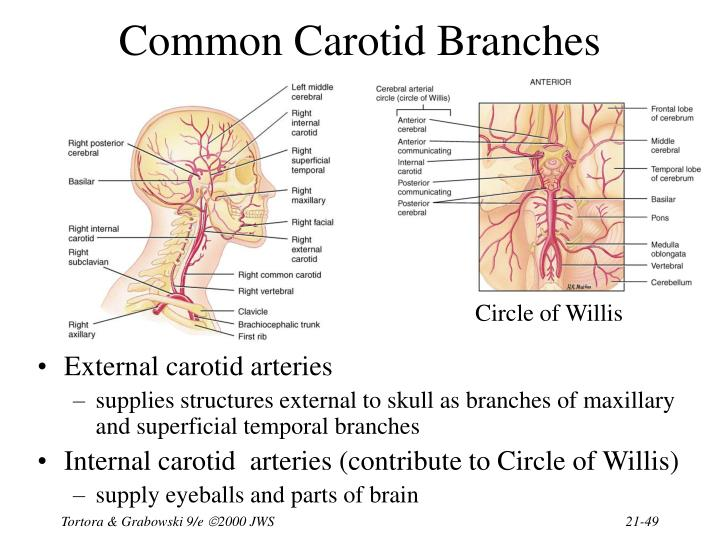 Common Carotid Branches