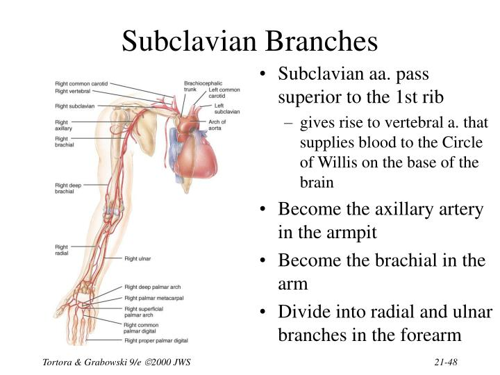 Subclavian Branches