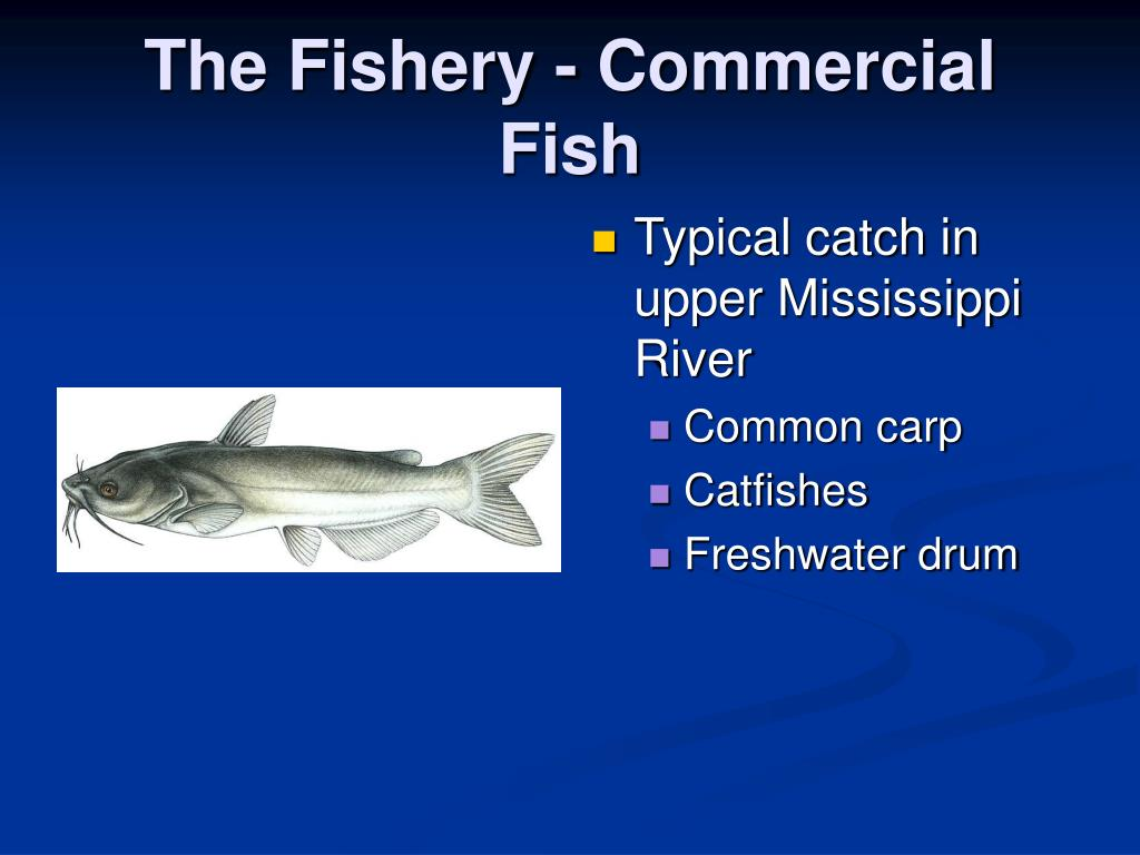 The Fishery - Commercial Fish