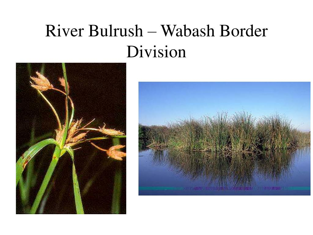 River Bulrush – Wabash Border Division