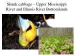 skunk cabbage upper mississippi river and illinois river bottomlands