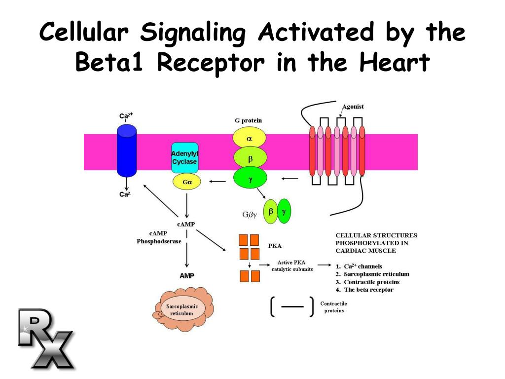 Cellular Signaling Activated by the Beta1 Receptor in the Heart