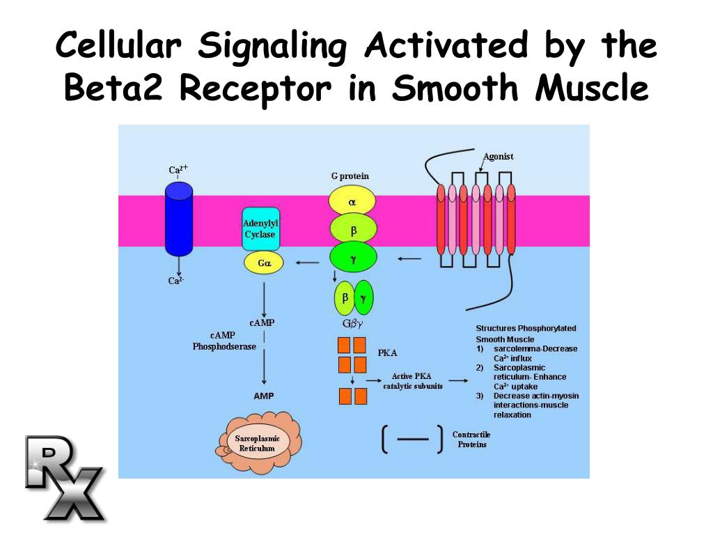 Cellular Signaling Activated by the Beta2 Receptor in Smooth Muscle