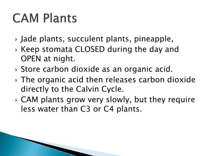 CAM Plants