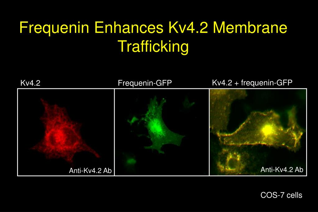 Frequenin Enhances Kv4.2 Membrane Trafficking