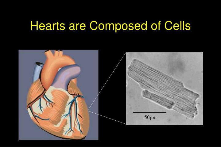 Hearts are composed of cells