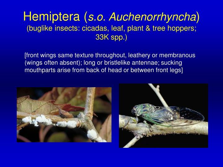 Hemiptera (