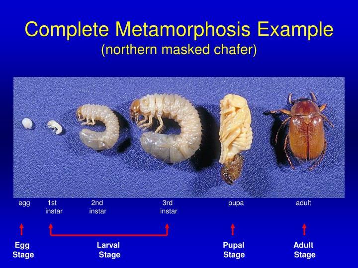 Egg                              Larval                                              Pupal                      Adult