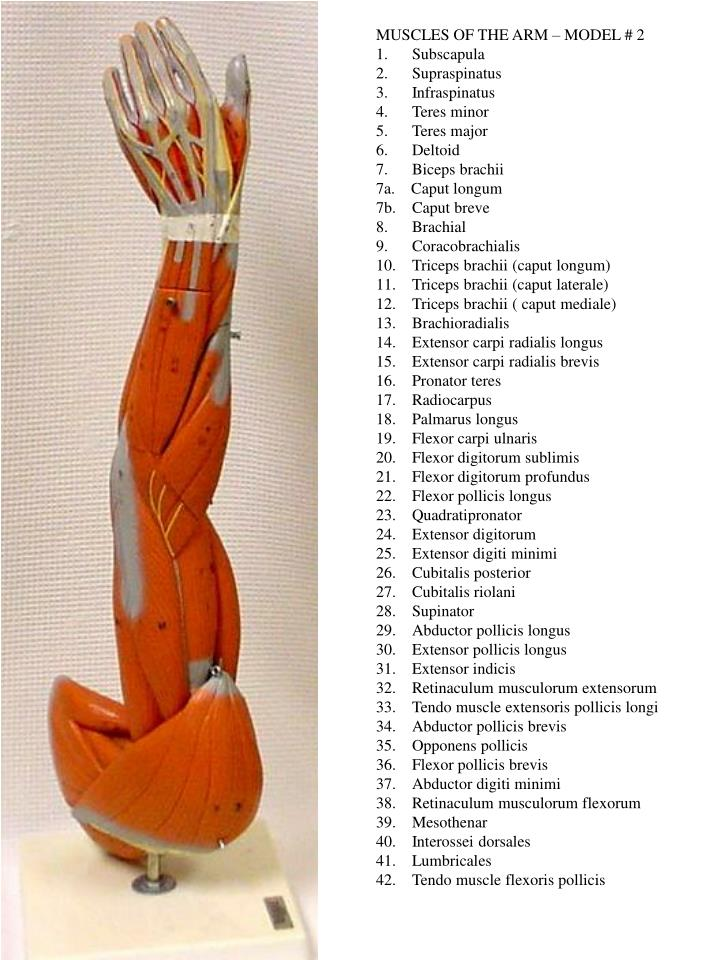 MUSCLES OF THE ARM – MODEL # 2