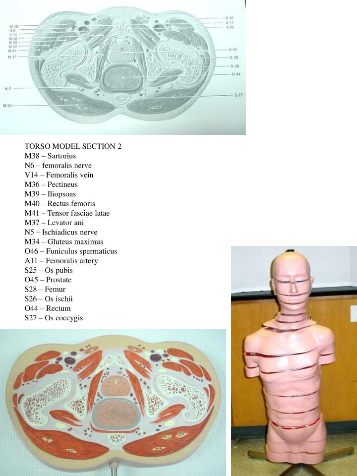 TORSO MODEL SECTION 2
