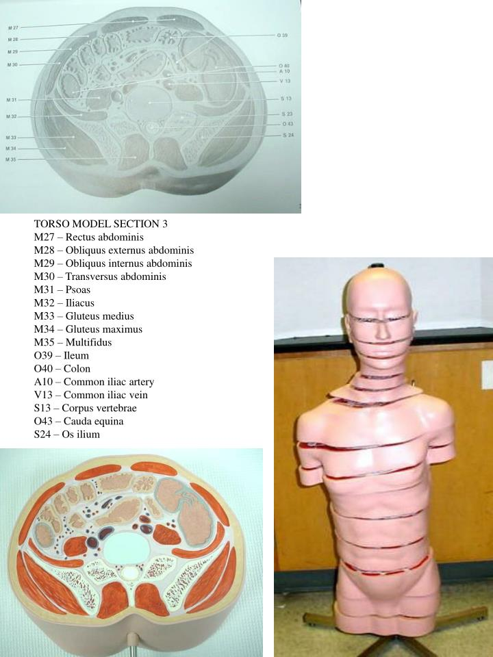 TORSO MODEL SECTION 3