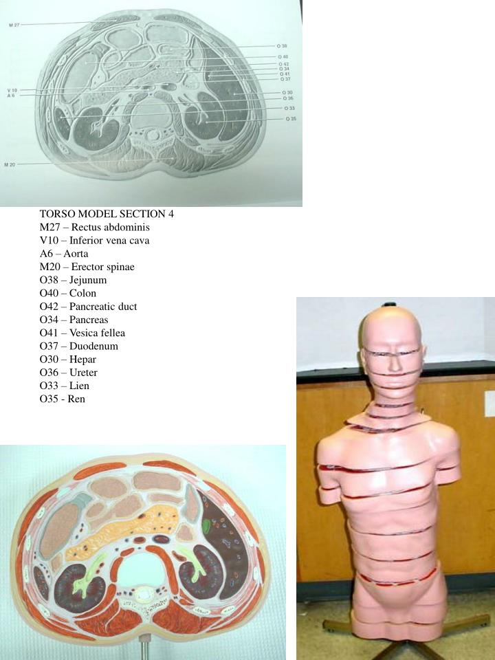 TORSO MODEL SECTION 4