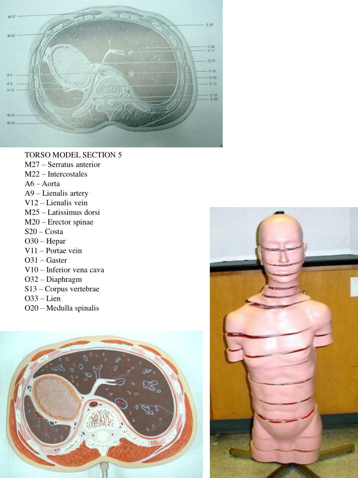 TORSO MODEL SECTION 5