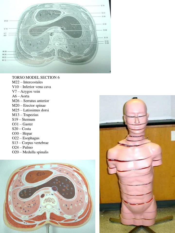TORSO MODEL SECTION 6