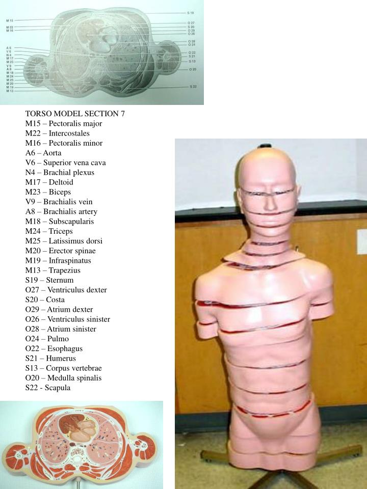 TORSO MODEL SECTION 7