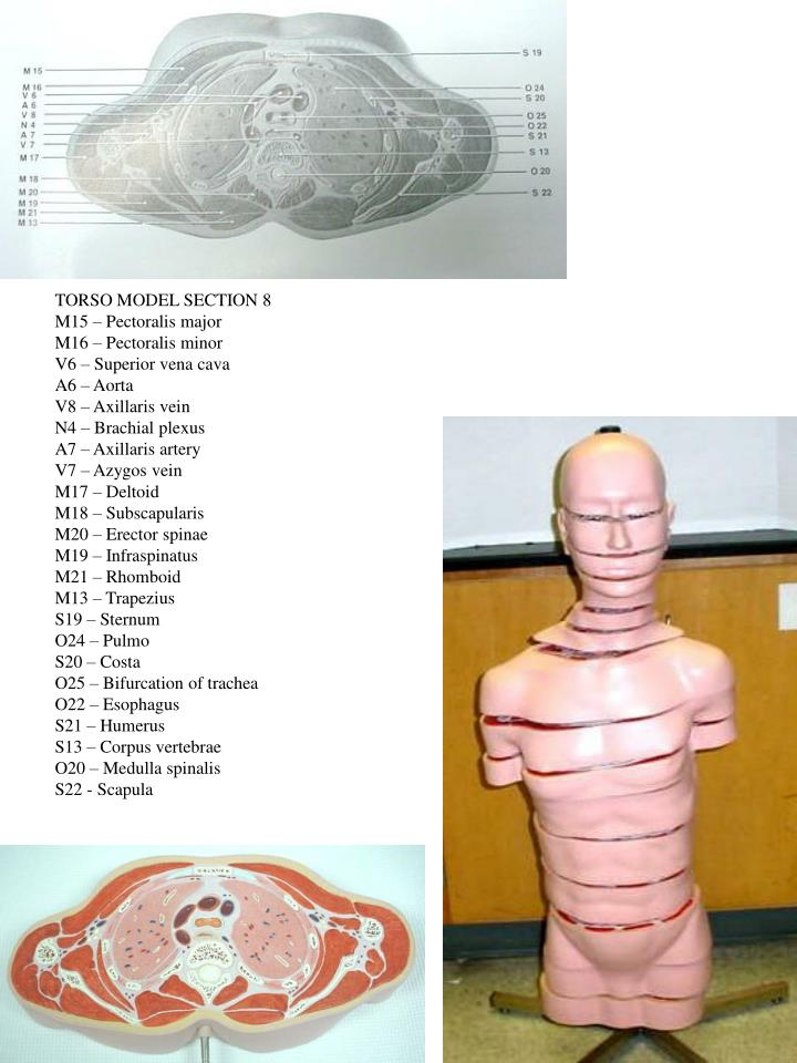 TORSO MODEL SECTION 8