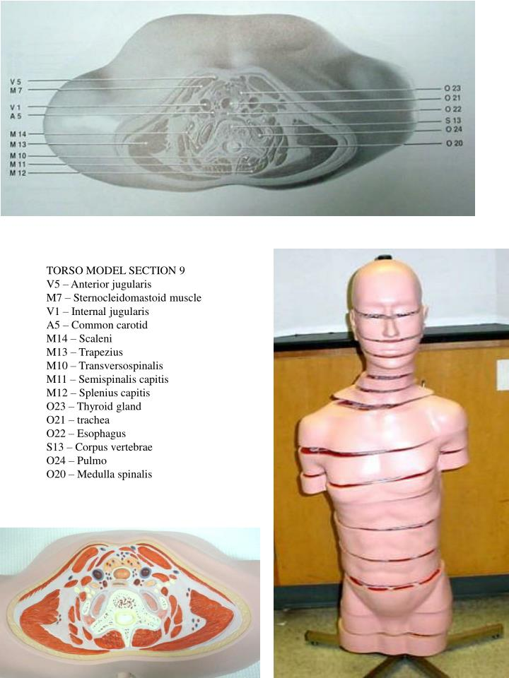 TORSO MODEL SECTION 9
