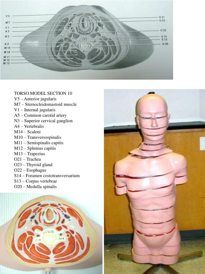 TORSO MODEL SECTION 10