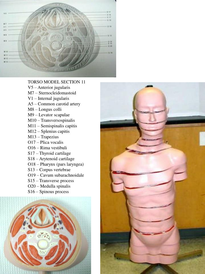 TORSO MODEL SECTION 11