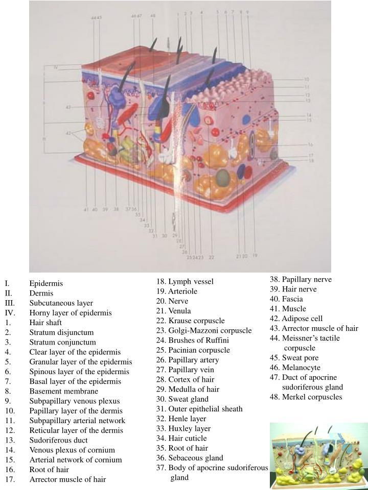 38. Papillary nerve