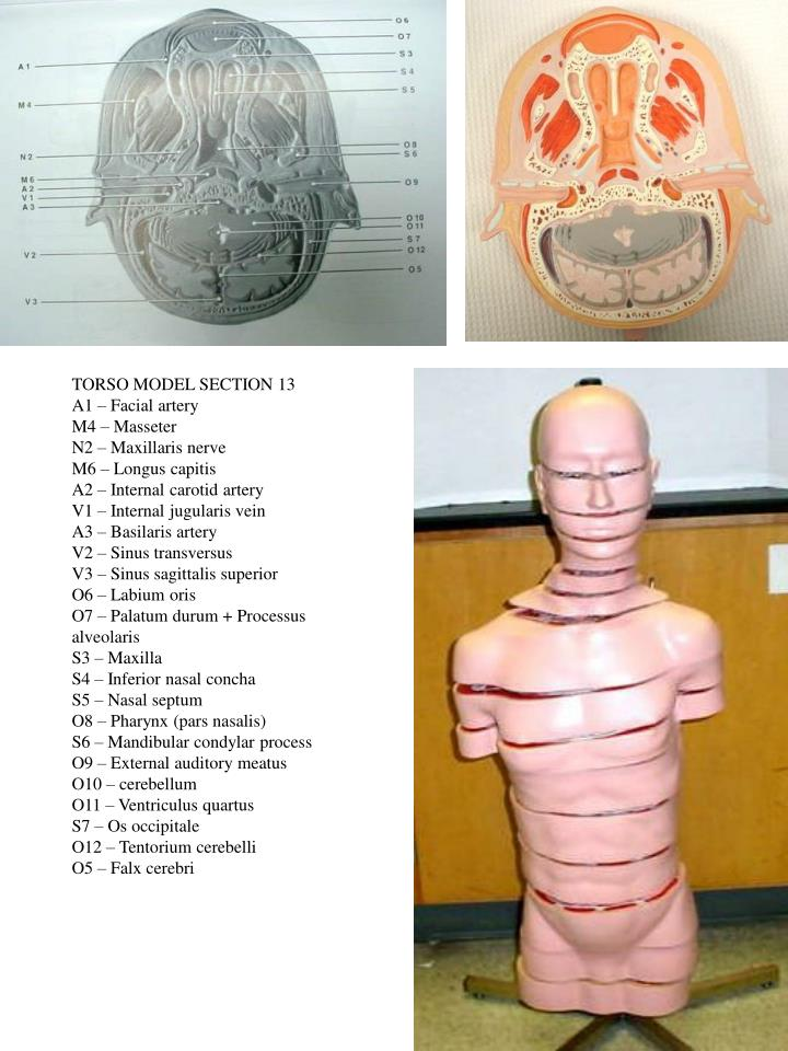 TORSO MODEL SECTION 13