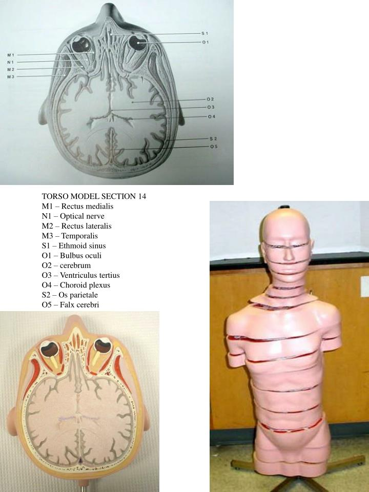 TORSO MODEL SECTION 14