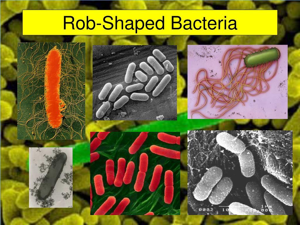 Rob-Shaped Bacteria