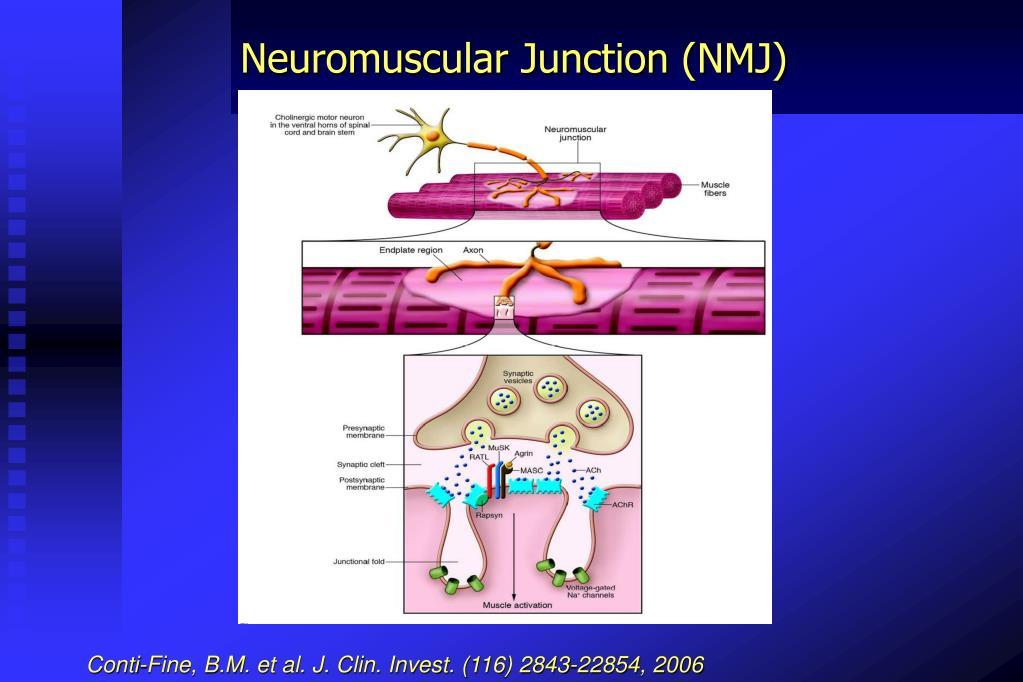 Neuromuscular Junction (NMJ)