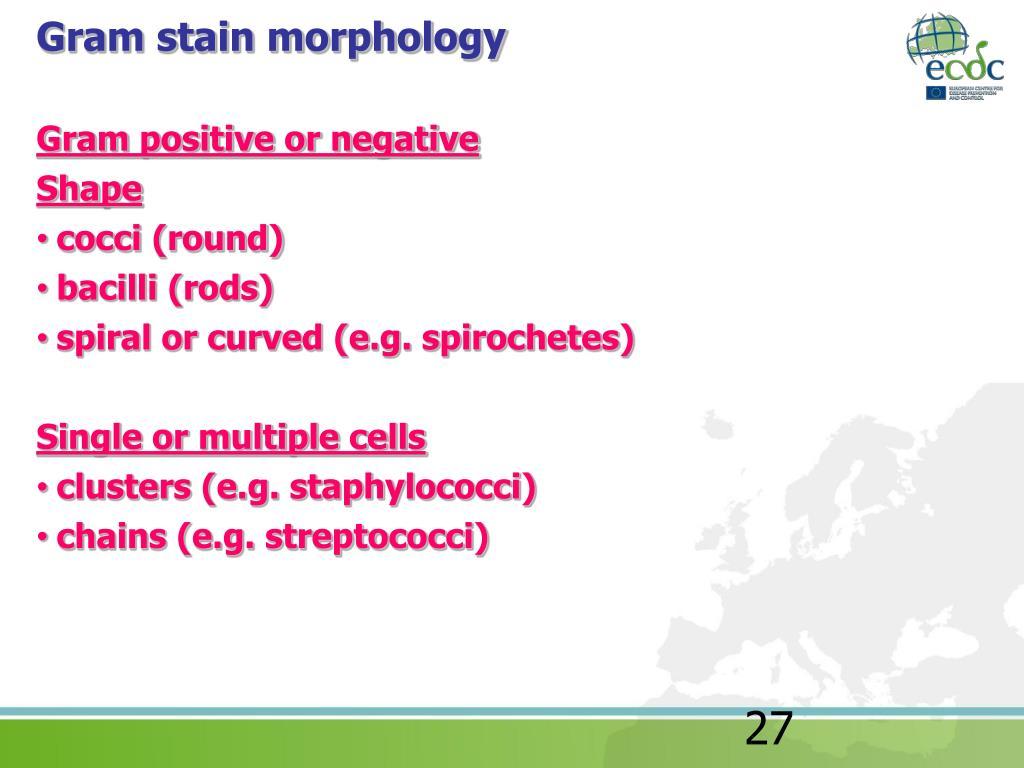 Gram stain morphology
