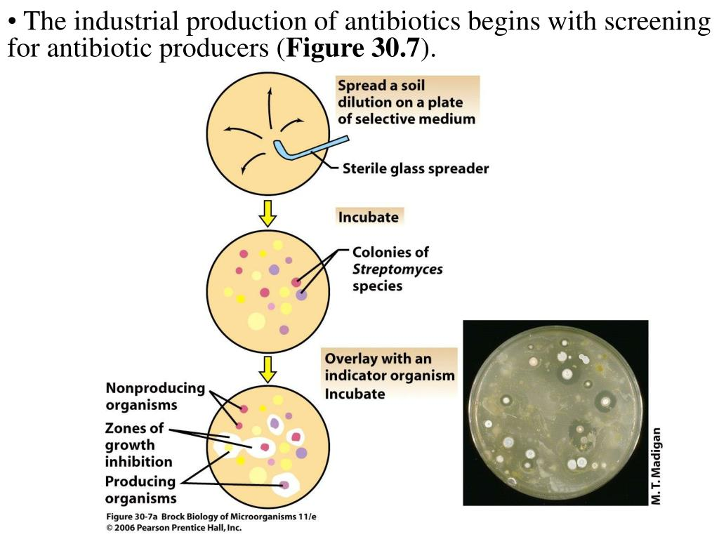 The industrial production of antibiotics begins with screening for antibiotic producers (