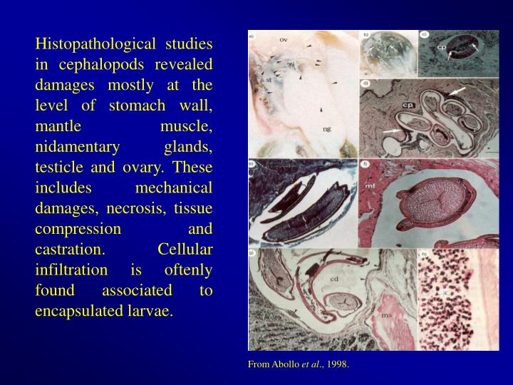 Histopathological studies in cephalopods revealed damages mostly at the level of stomach wall, mantle muscle,  nidamentary glands, testicle and ovary. These includes mechanical damages, necrosis, tissue compression and castration. Cellular infiltration is oftenly found associated to encapsulated larvae.